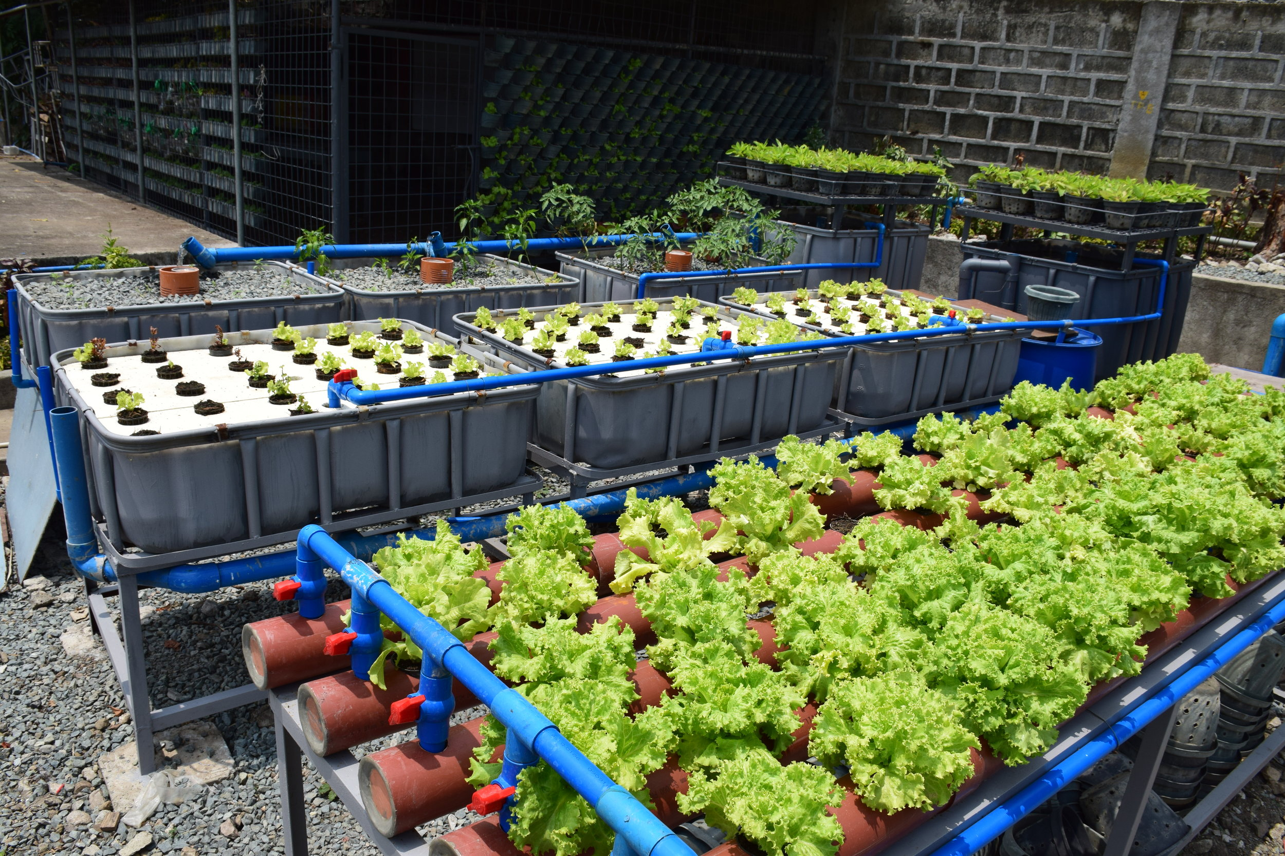 Training modules for three models of Aquaponics: 1.  Media Bed  (far back) 2.  Deep Water Culture  (middle) 3.  Nutrient Film Technique  (front tubes with lettuce growing on them)
