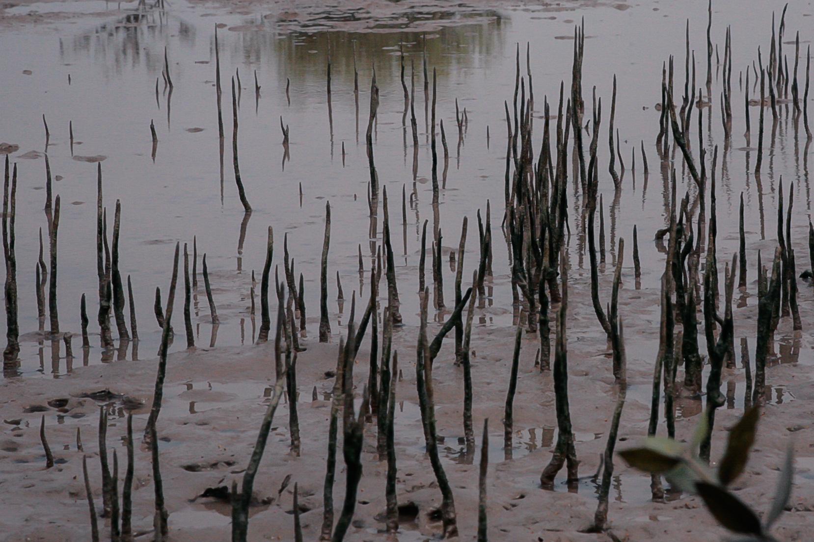 2012-13-mangrove-plantations-binqasim.jpg