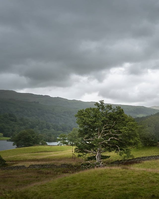 Tree, Rydal Water - August 2019  #lakes #landscapephotography #lakedistrict #cumbria #rydal #rydalwater #ambleside #britain #travelphotography #travel #omgb #tree #nature #summer #england