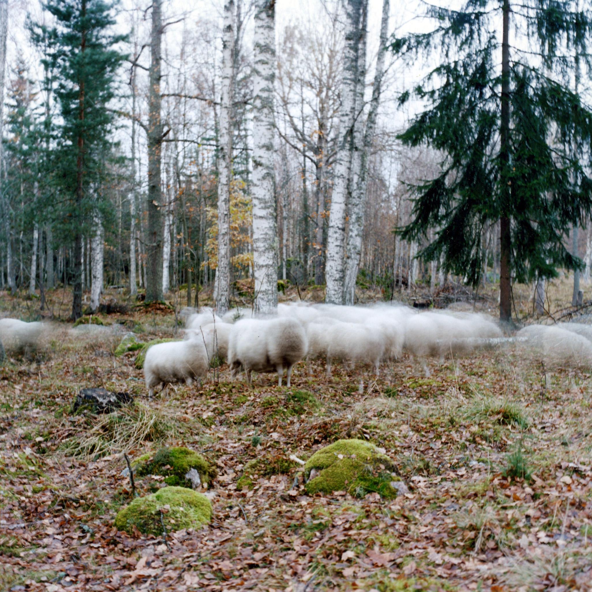 Troupeau de moutons dans un bois en Suède