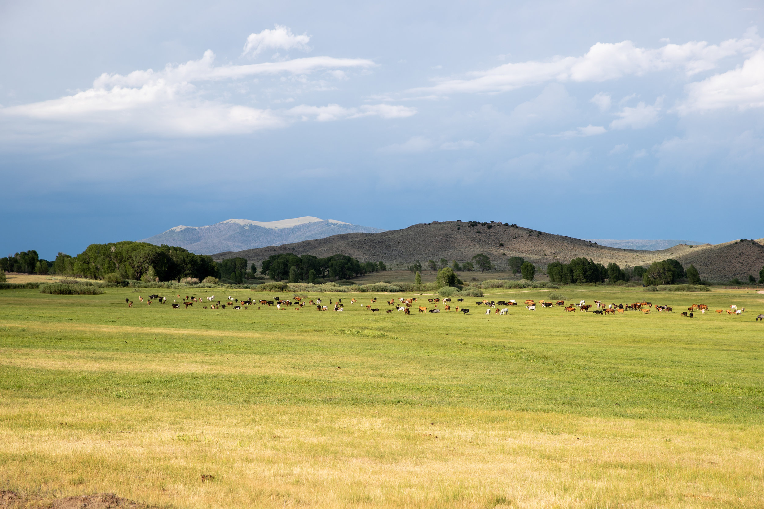 The ranch cattle