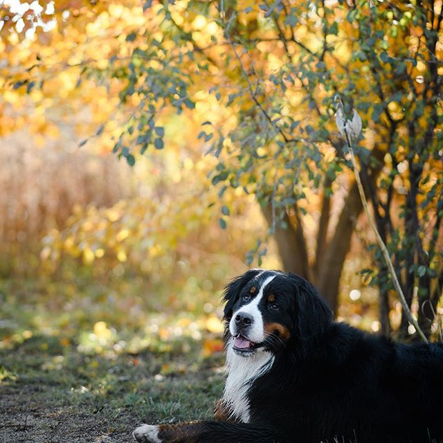 Just a week ago the leaves were like this 😭 I'm not ready for winter but @peluche_the_berner sure is 😂