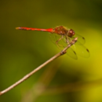 Dragonfly species