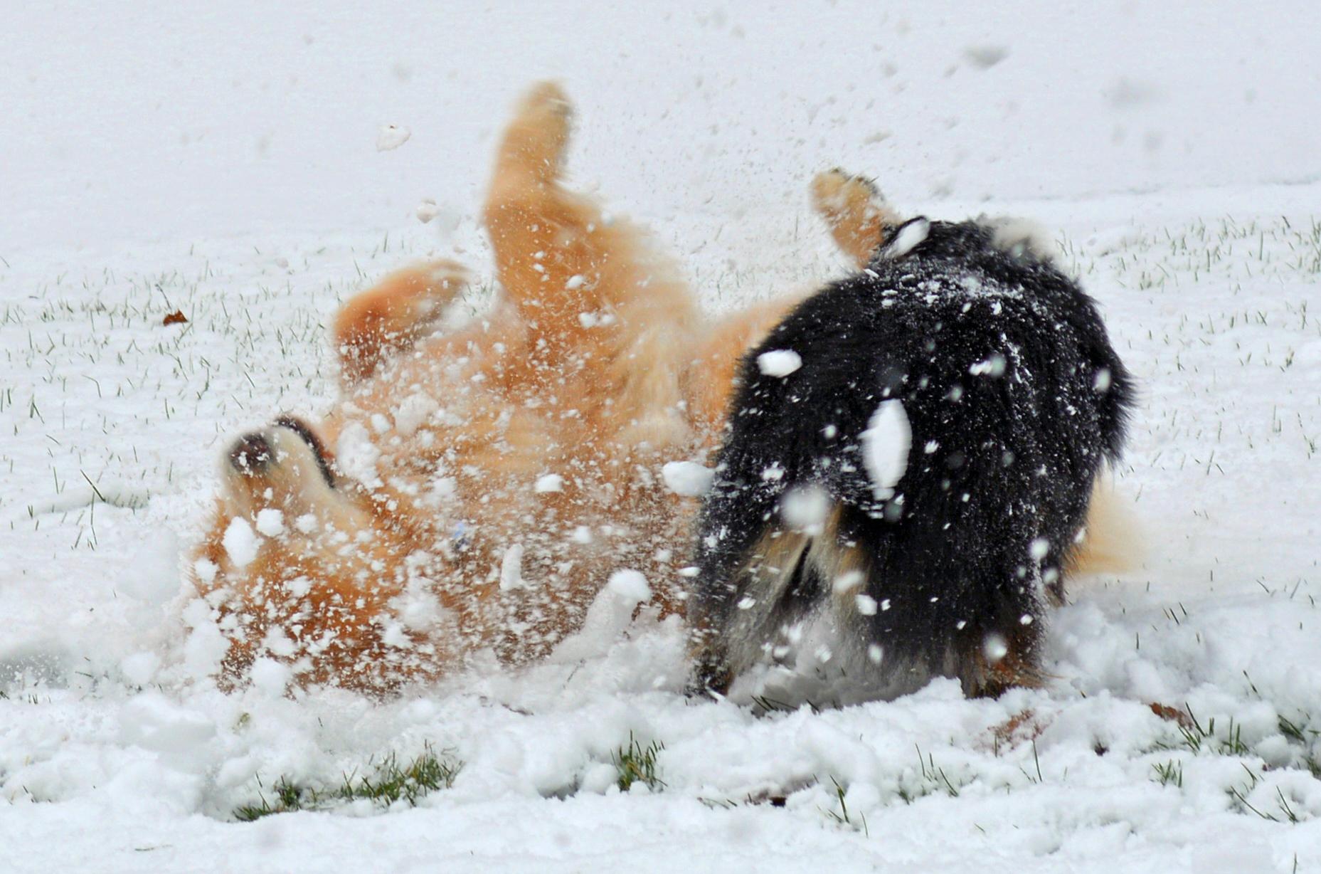 Ellie & Wrigley - Snow Wrestling.jpg