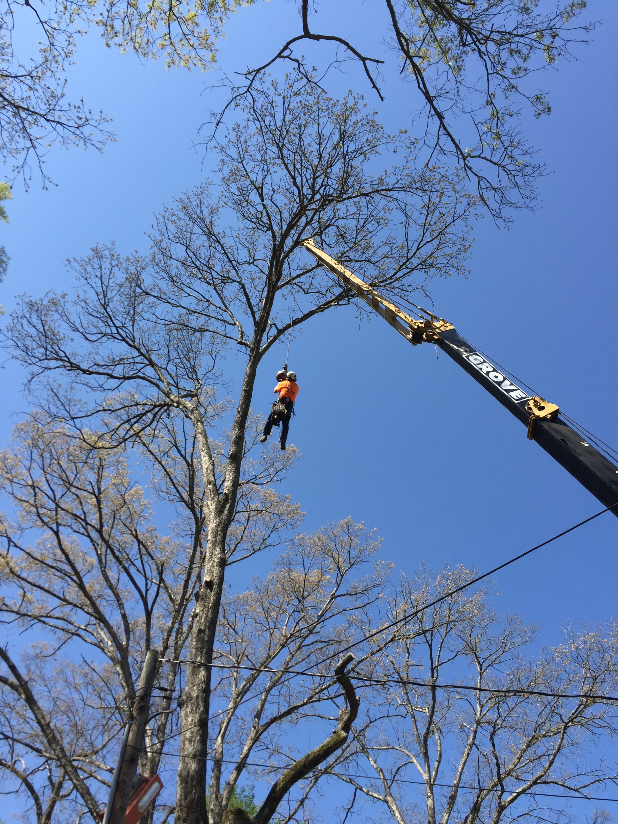 Limbwalkers Tree & Crane Service rigging specialist going up to rig some large white oak tops near Morganton, NC!