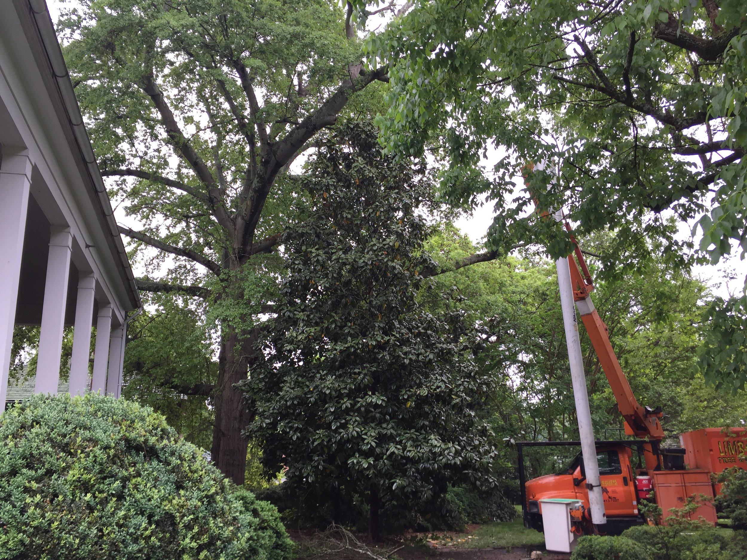 Morganton, NC tree service company, Limbwalkers Tree & Crane Service, deadwooding a tree near downtown Morganton.