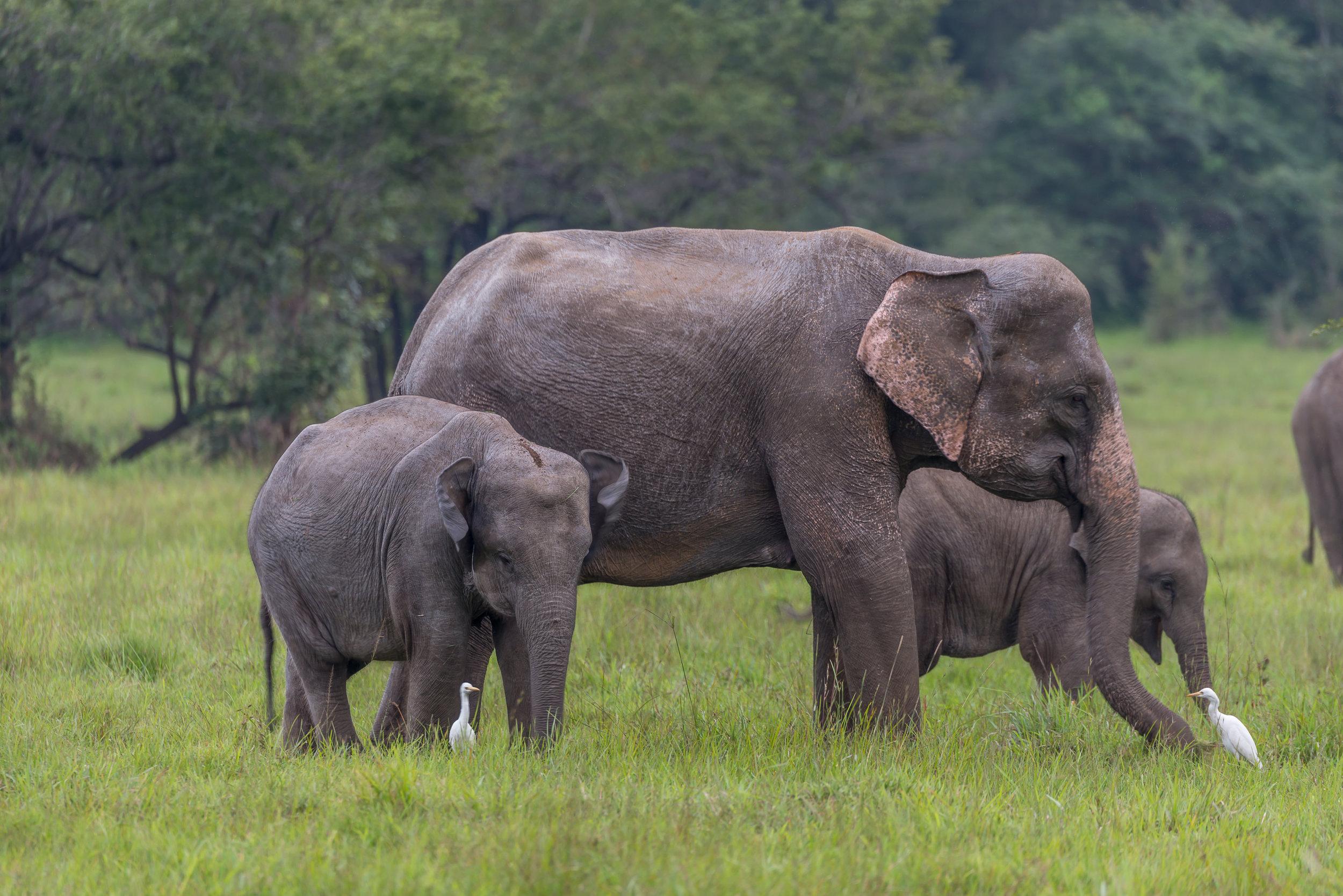 Elephant Herd 02.jpg