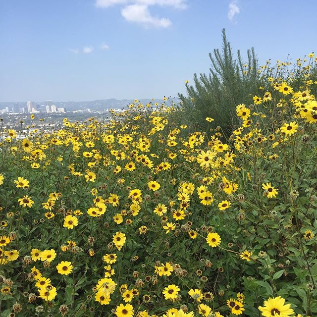 Happy Wednesday! Check out this field of (what I think is) Encelia californica, or the bush sunflower! Butterflies and bees alike love them - and here at Agathist, we love ALL pollinators 🥰😤🐝🦋 #bushsunflower #enceliacalifornica #pollinators #savethebees #agathist