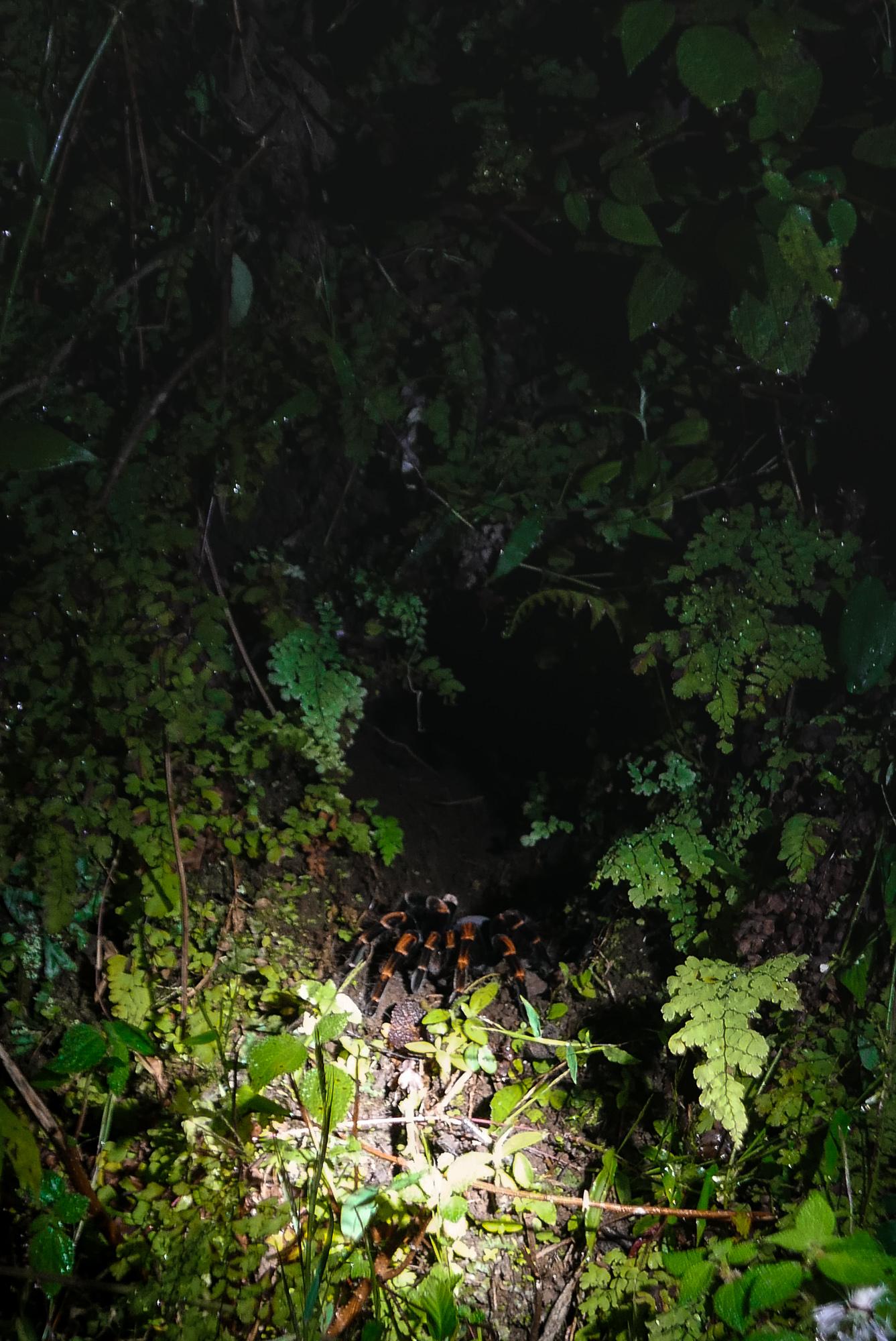 Tarantula mum watching the nest