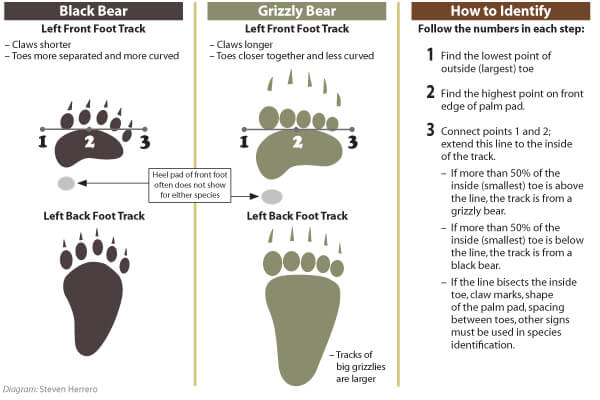 Avoid a bear attack by learning to identify bear tracks - ©️  Western Wildlife Outreach