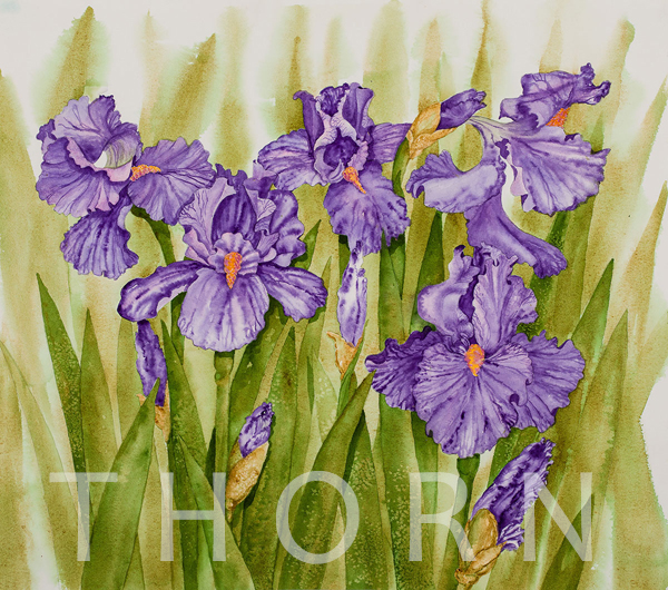"IRIS    Click on image for size and material options.   Prints Available From $27 - $350  Watercolor, 21""w x 16""h  Original Art For Sale $900  2017  Artist: Karen Thornberg"