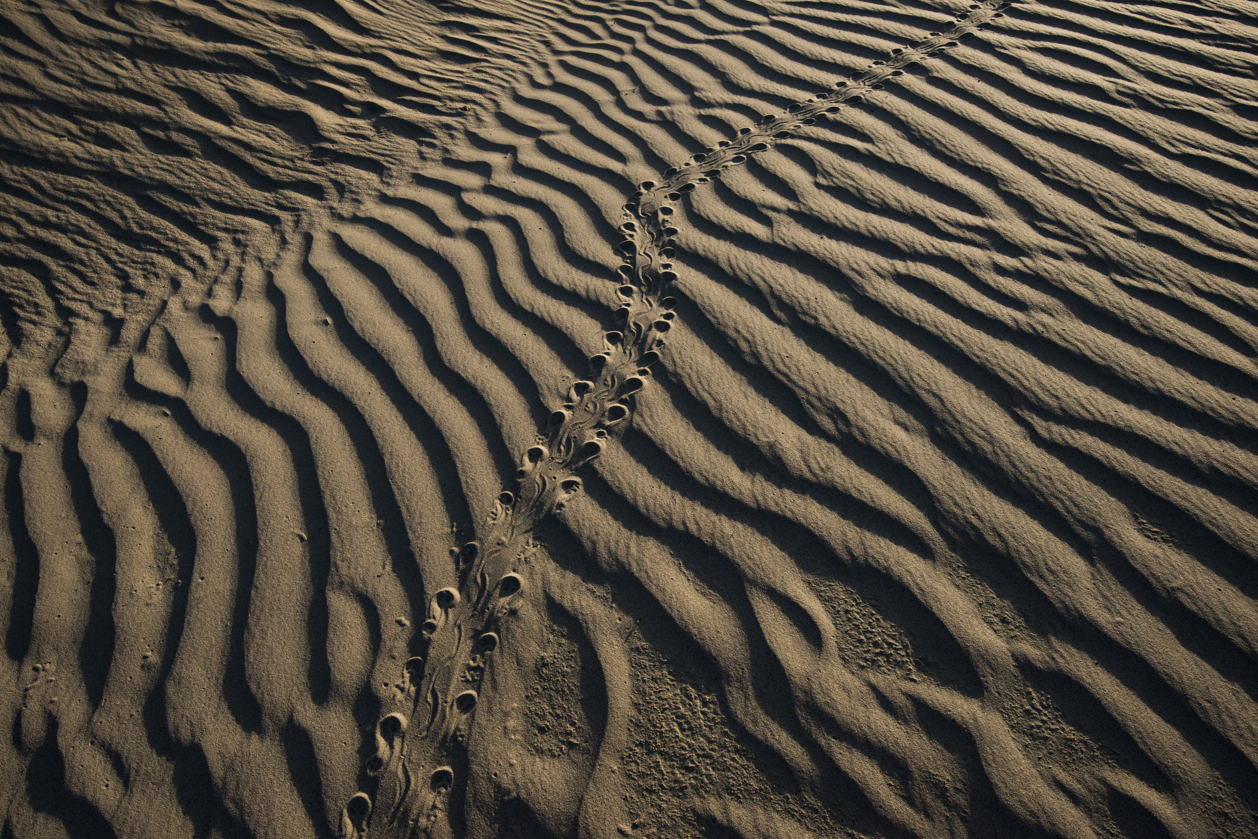 Ornate box turtle tracks on the Switzer ranch in the Nebraska Sandhills. (Michael Forsberg)