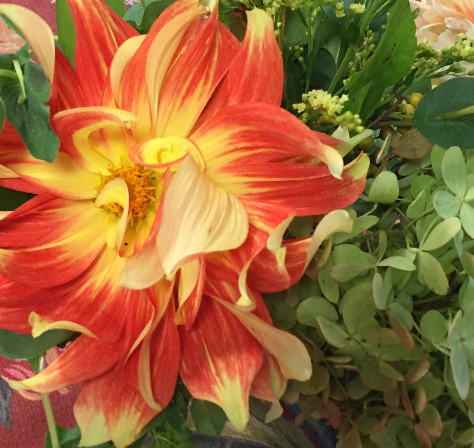 A variegated dahlia grown by my neighbor for his daughter's wedding