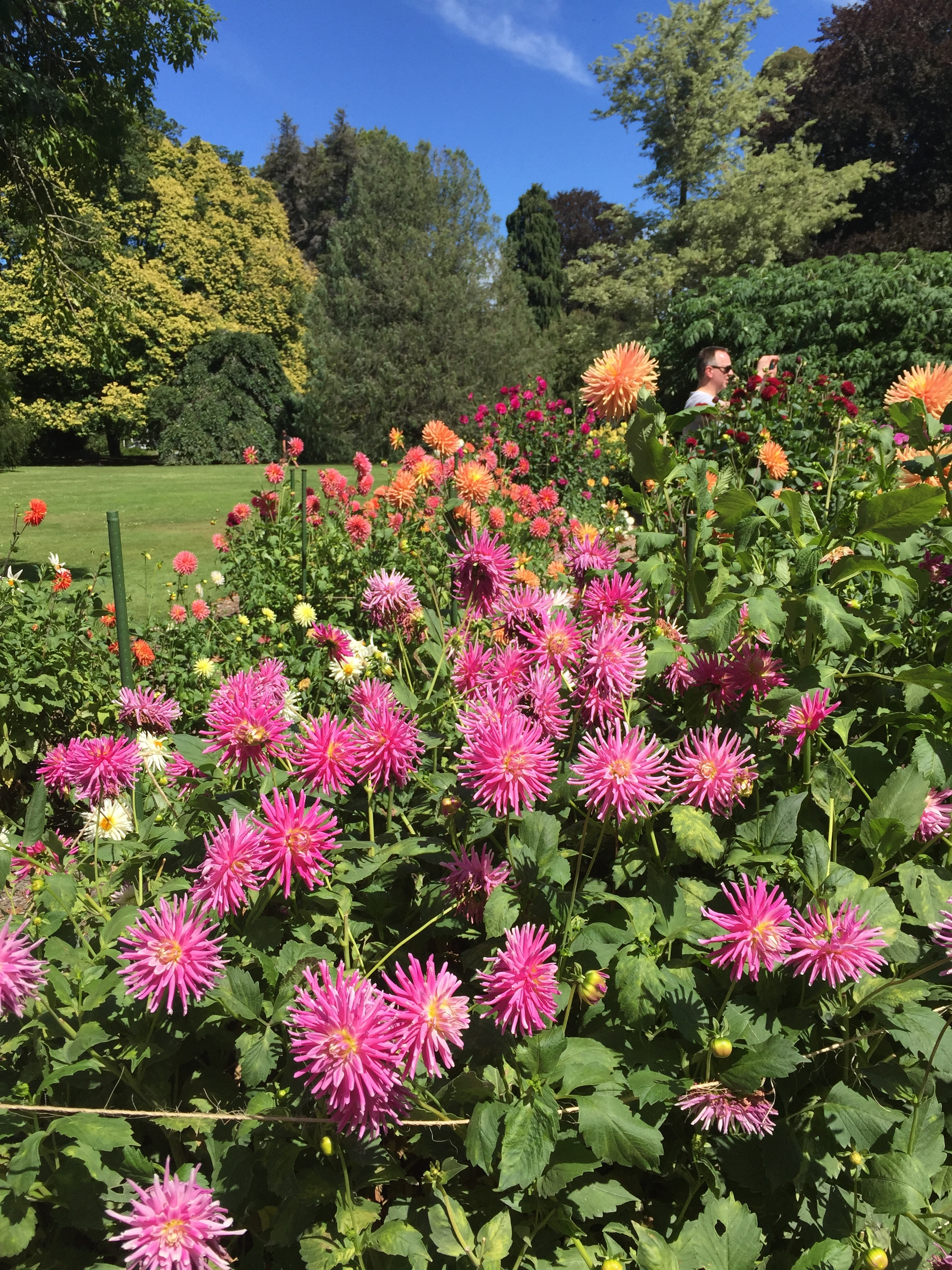 Dahlias in the wonderful Botanic Gardens in Christchurch, New Zealand, which I visited in 2016.