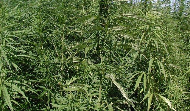 rsz_marijuana-plants-57662792554 (2).jpg
