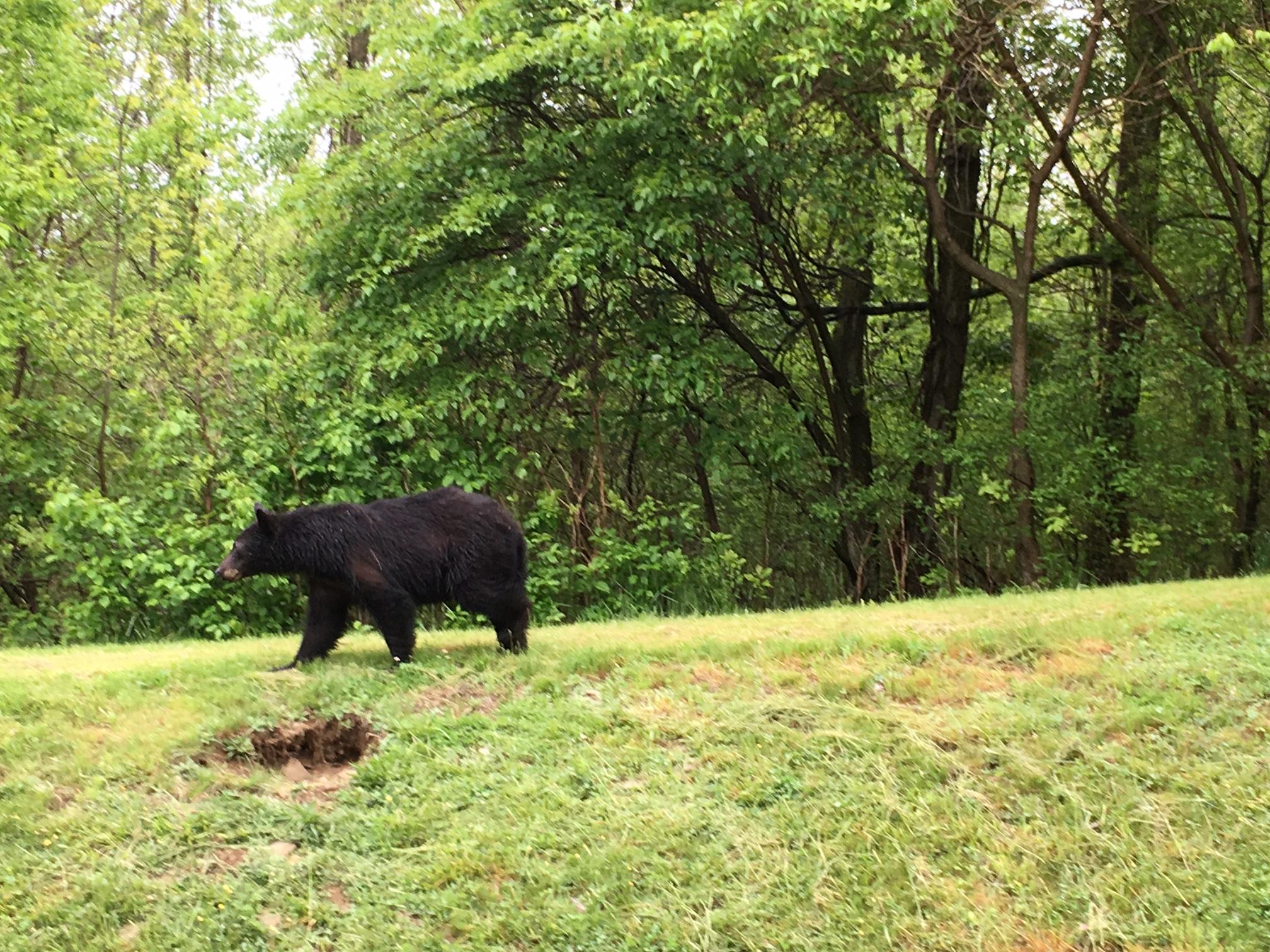 Shenandoah National Park Bear