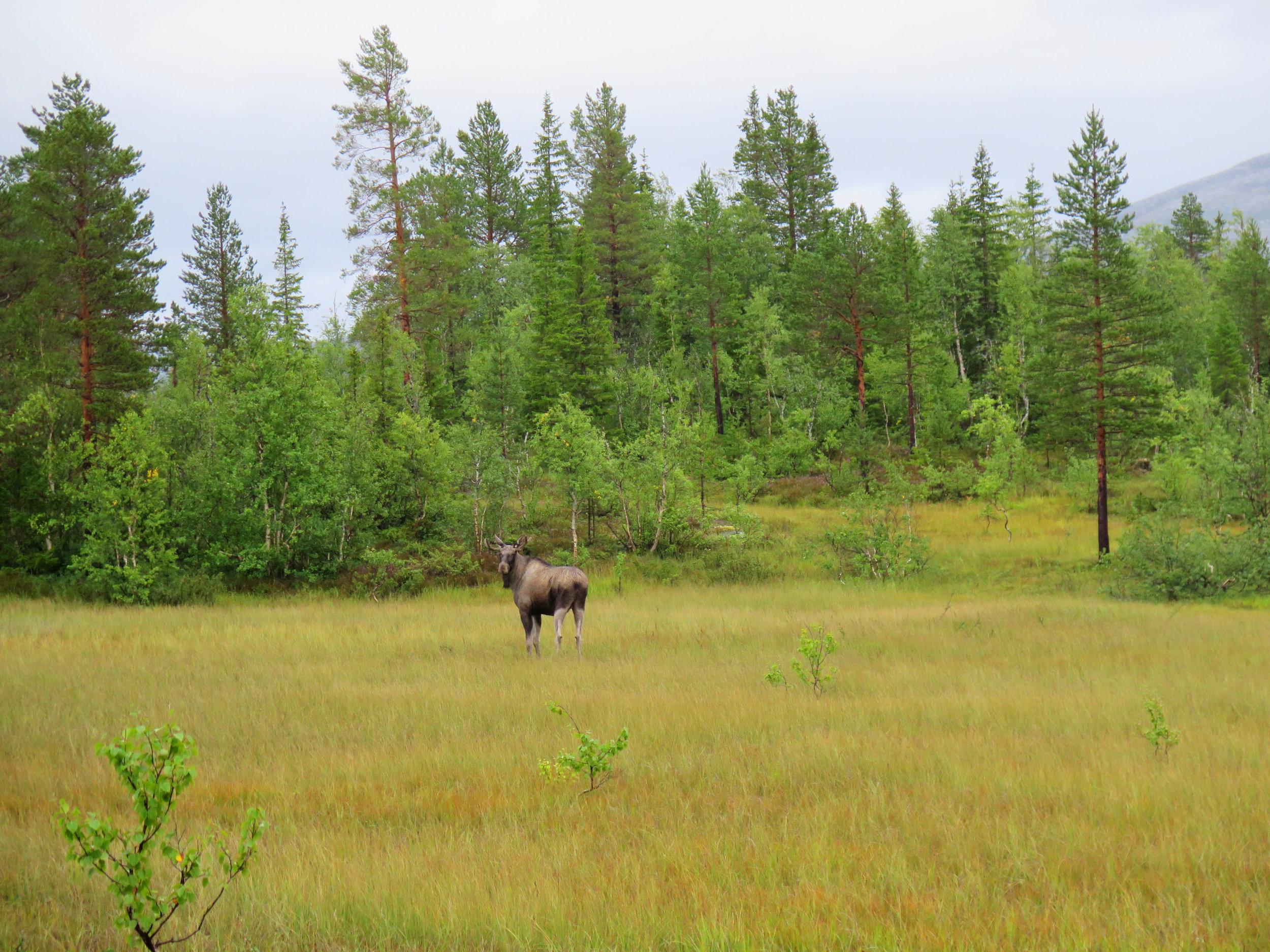 Norway Moose