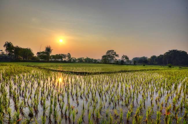Sunrise-Ricefield-Thailand_art.jpg