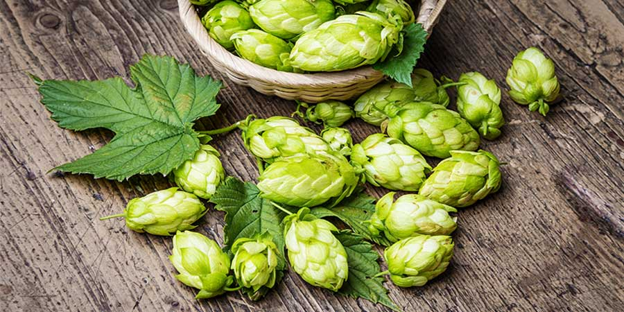 Hops in all its beauty