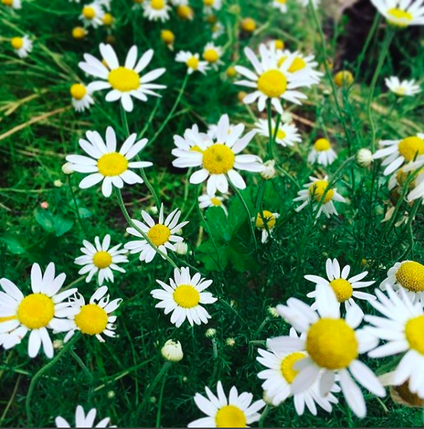 an ally for bringing about restful states and peaceful calm :: the ever-so powerful chamomile ✨