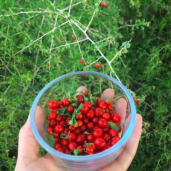 wolfberries for kombucha tuscon herb store.png