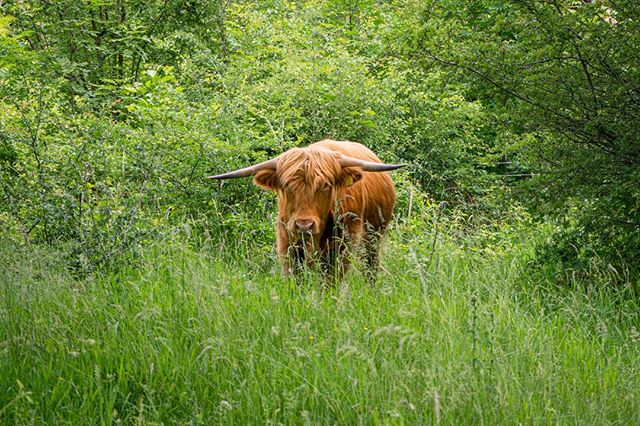 Beautiful Highland Cow spotted at Yorkshire Sculpture Park 🌿 . . . #highlandcow #highlandcattle #ysp #yorkshire #sculpture #park #summer #spring #nature #wildlife #animals #cow #beautiful #highlandcowsofinstagram #yorkshiresculpturepark