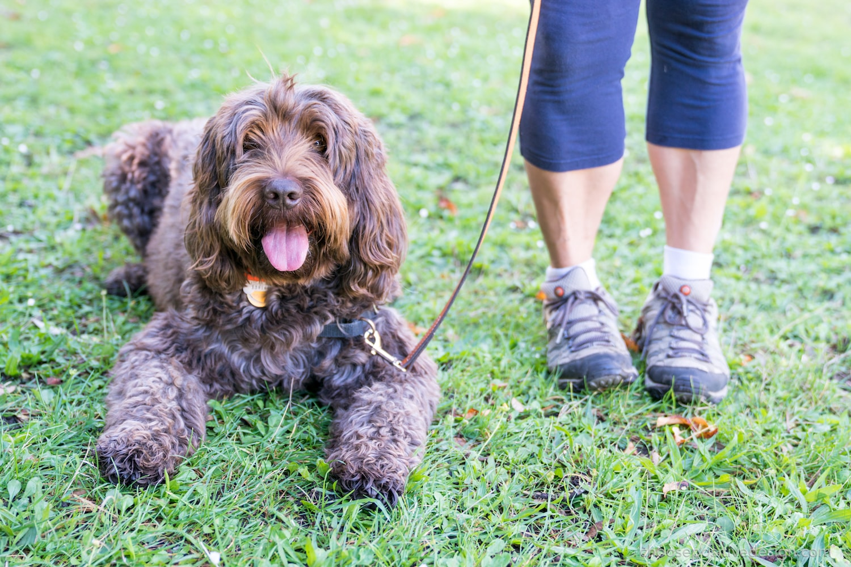 doodle-dog-training-min.jpg