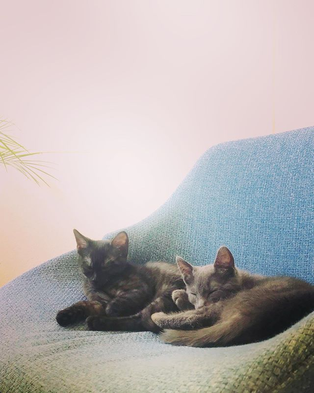 Kitten naps in dining room with 🐻and 🦁. #bearthecat #lionthecat #kittensofinstagram #smokeytabby #greykitten