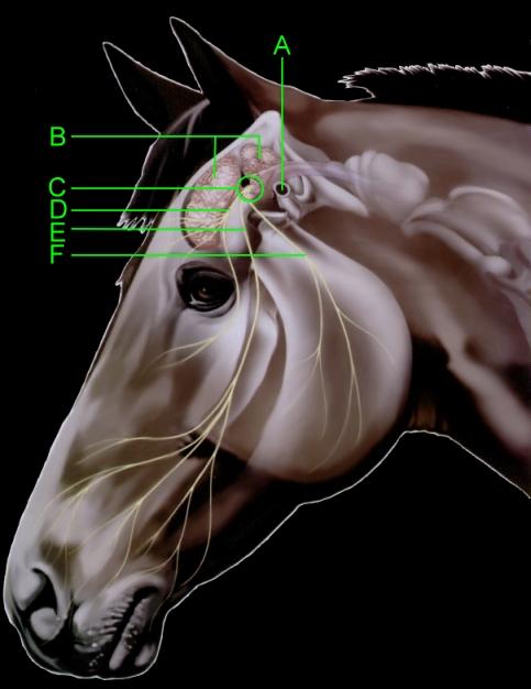 Head Anatomy Diagram  A) Ear Canal B) Brain C) Trigeminal Nerve D) Ophthalmic Nerve E) Maxillary Nerve  F) Mandibular Nerve