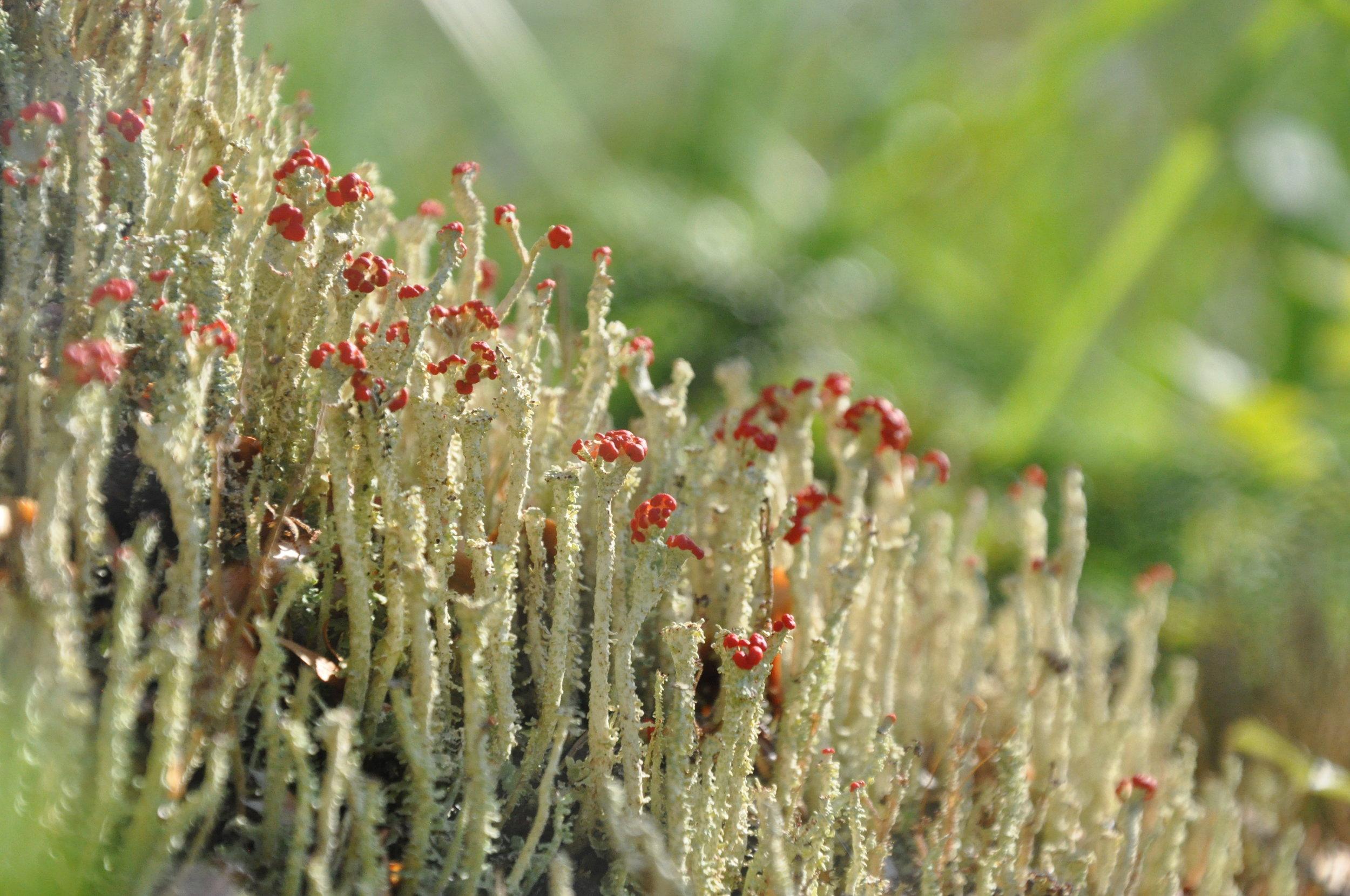 A fruticose lichen in Aialik Bay, Alaska