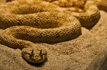 saharan horned viper