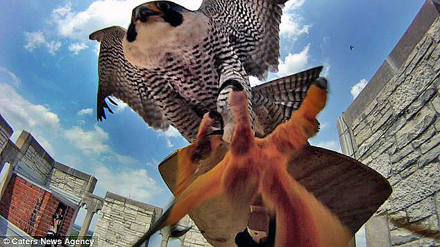 A furious falcon attacking university researchers (who were trying to tag their young) in the US. [Photo courtesy Caters News Agency]
