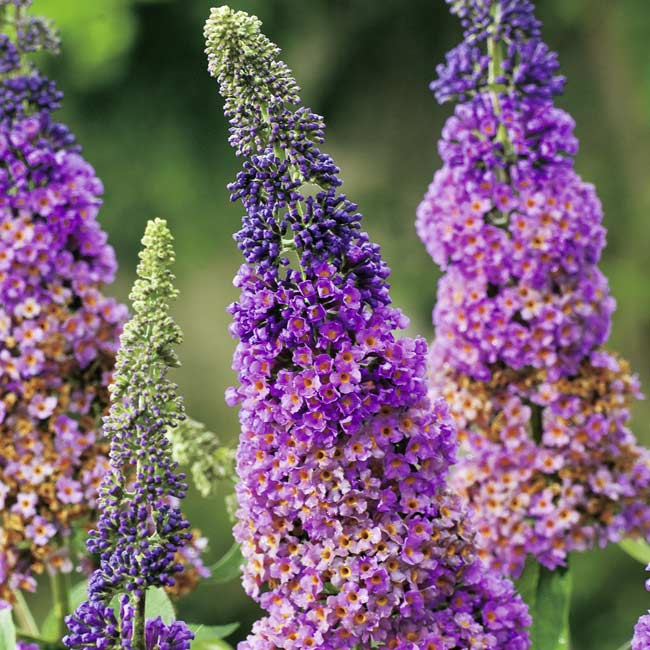 buddleja-flower-power-14130.jpg