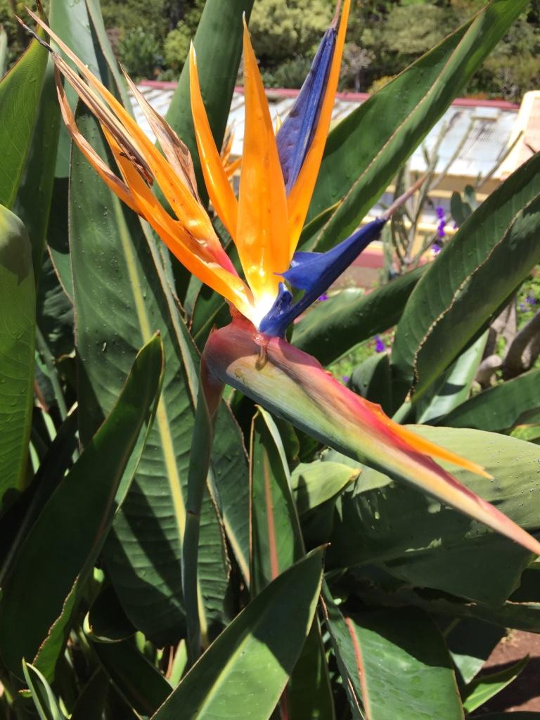 Flor Ave-do-Paraíso no Jardim Botânico