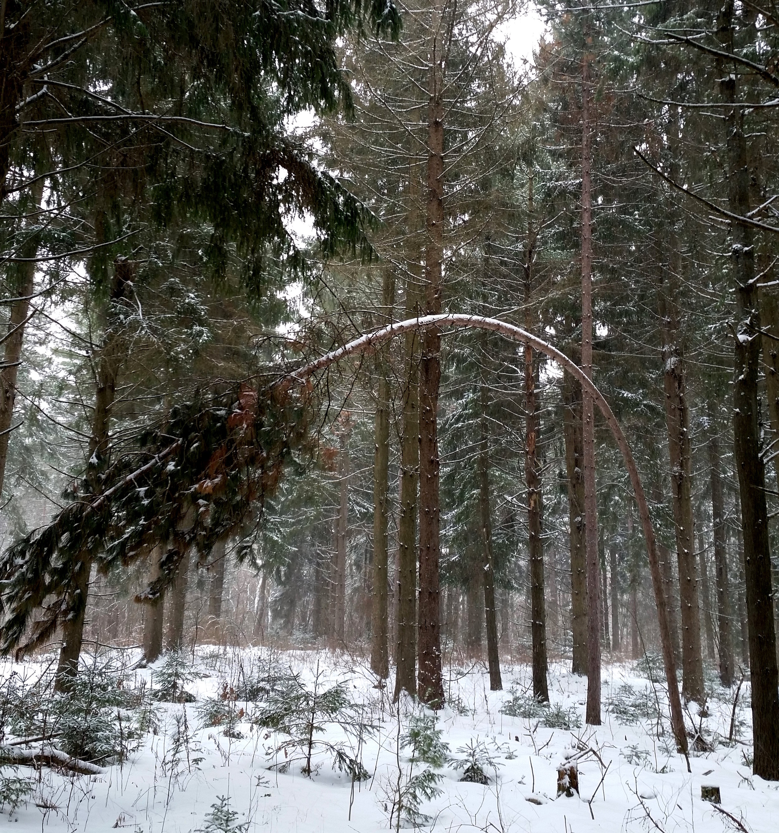 Bent tree on the White Spruce Loop.