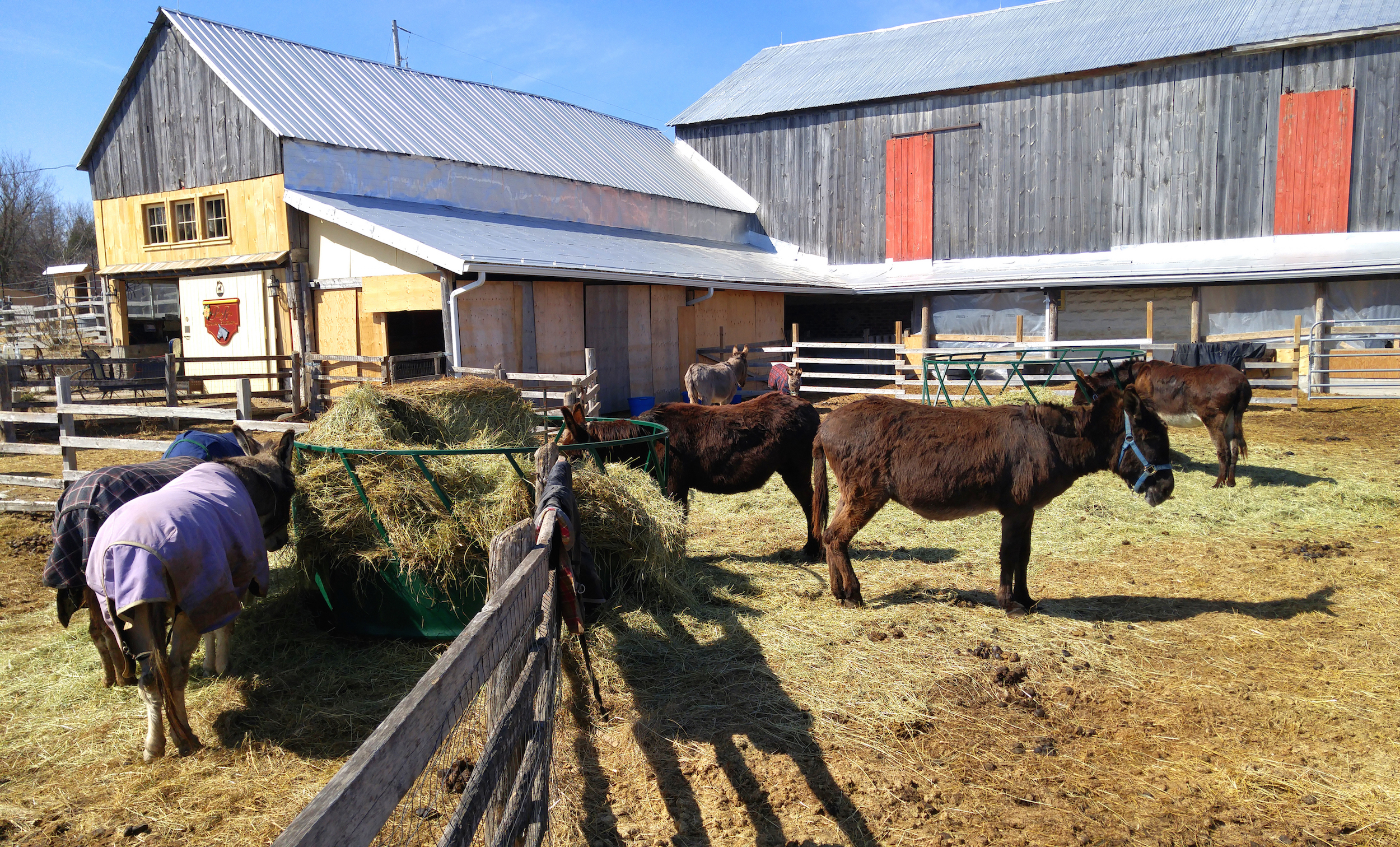 Donkeys in the barnyard, at Primrose Donkey Sanctuary.