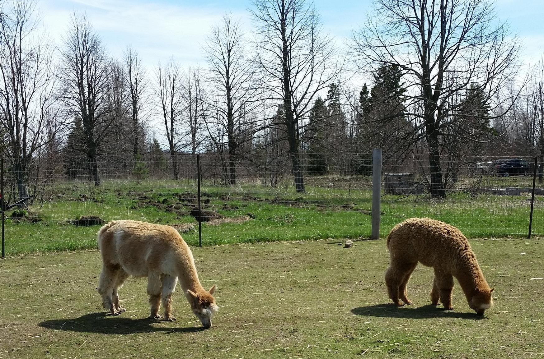 A couple of the alpacas.