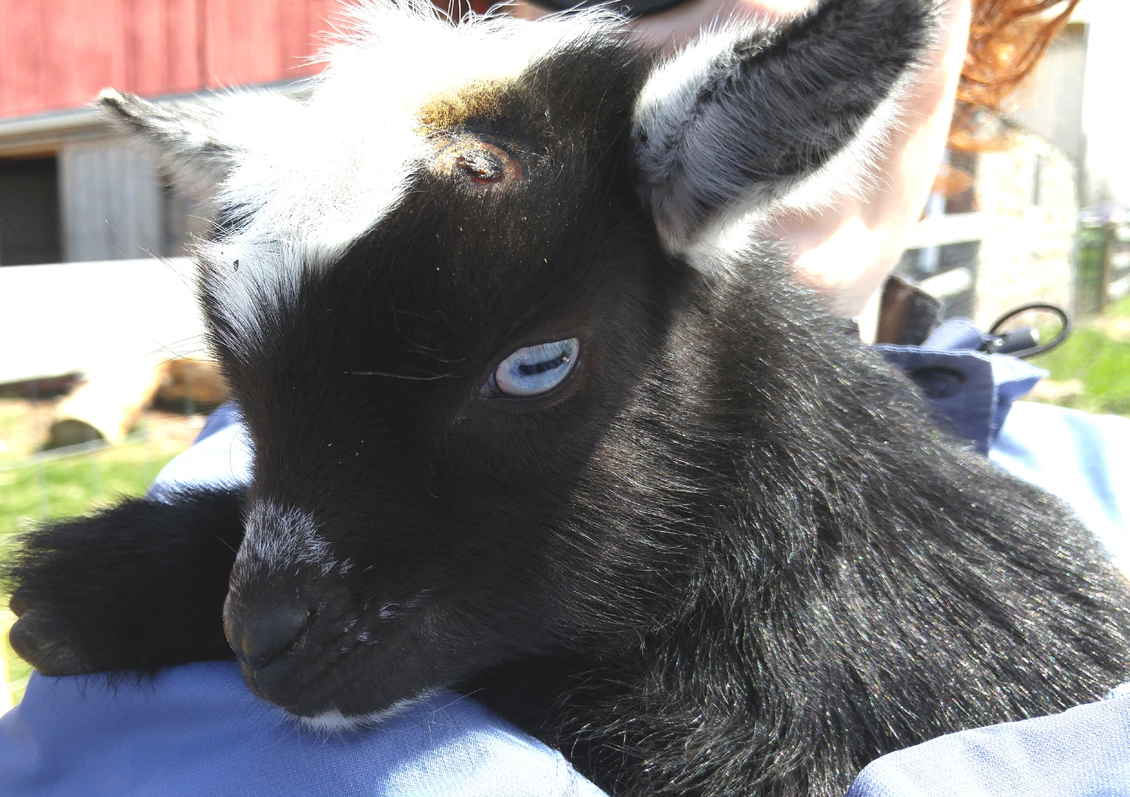 Dallas, the week old Nigerian Dwarf goat who was passed around for cuddles.