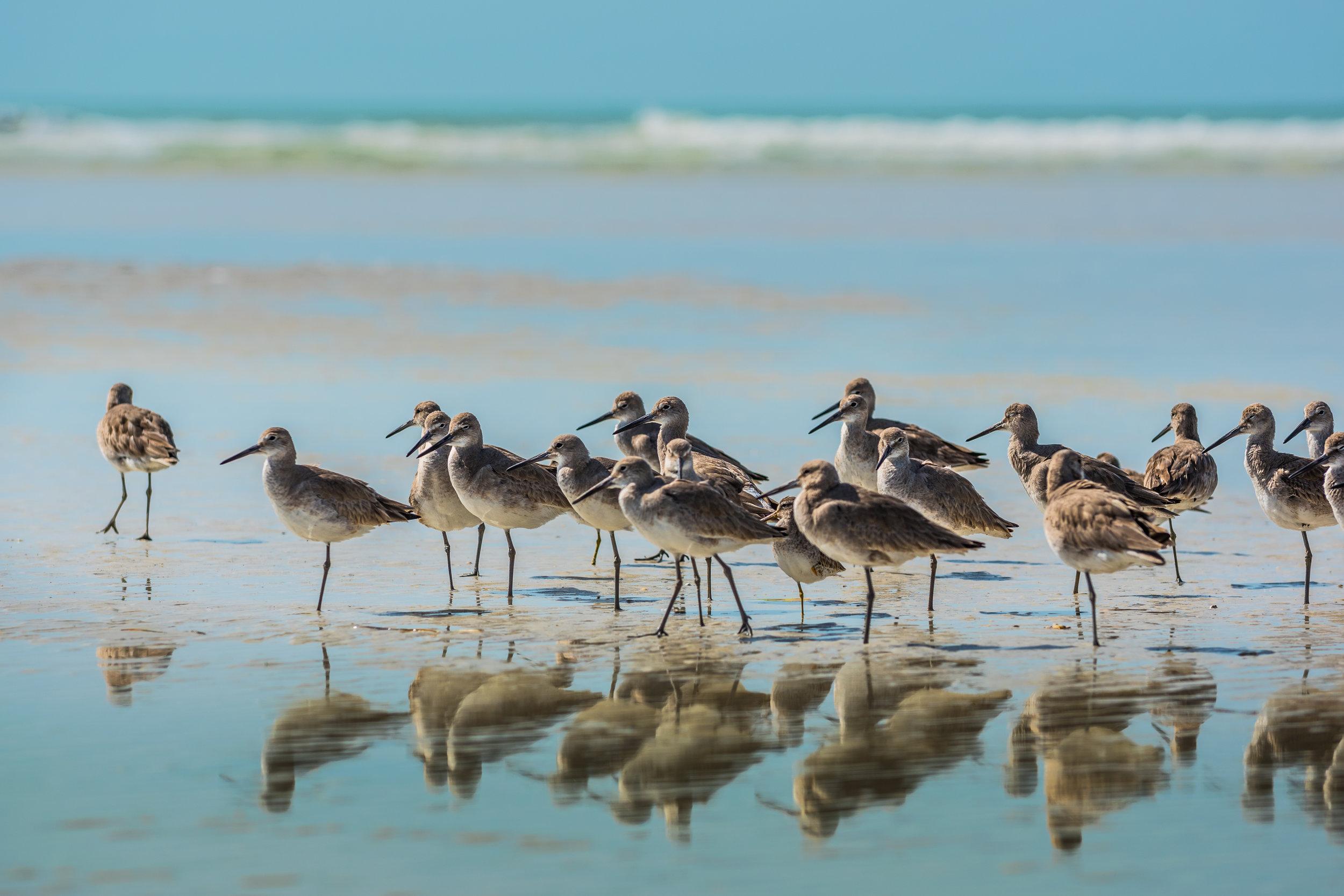 willet-birds-of-florida-PJUAT5C.jpg