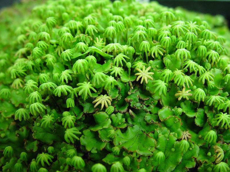 liverwort-spore-stalks.jpg