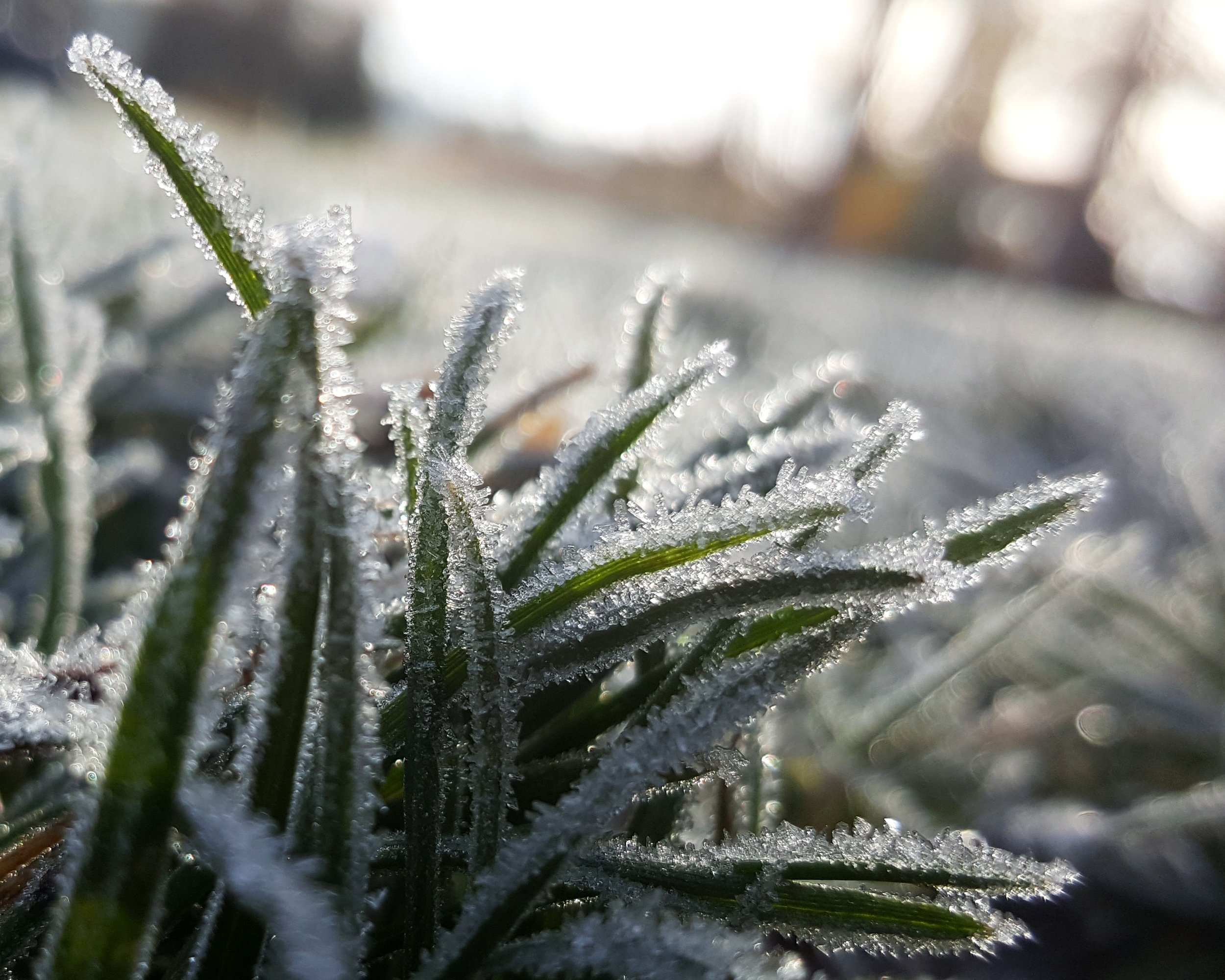 grass with frost.jpg