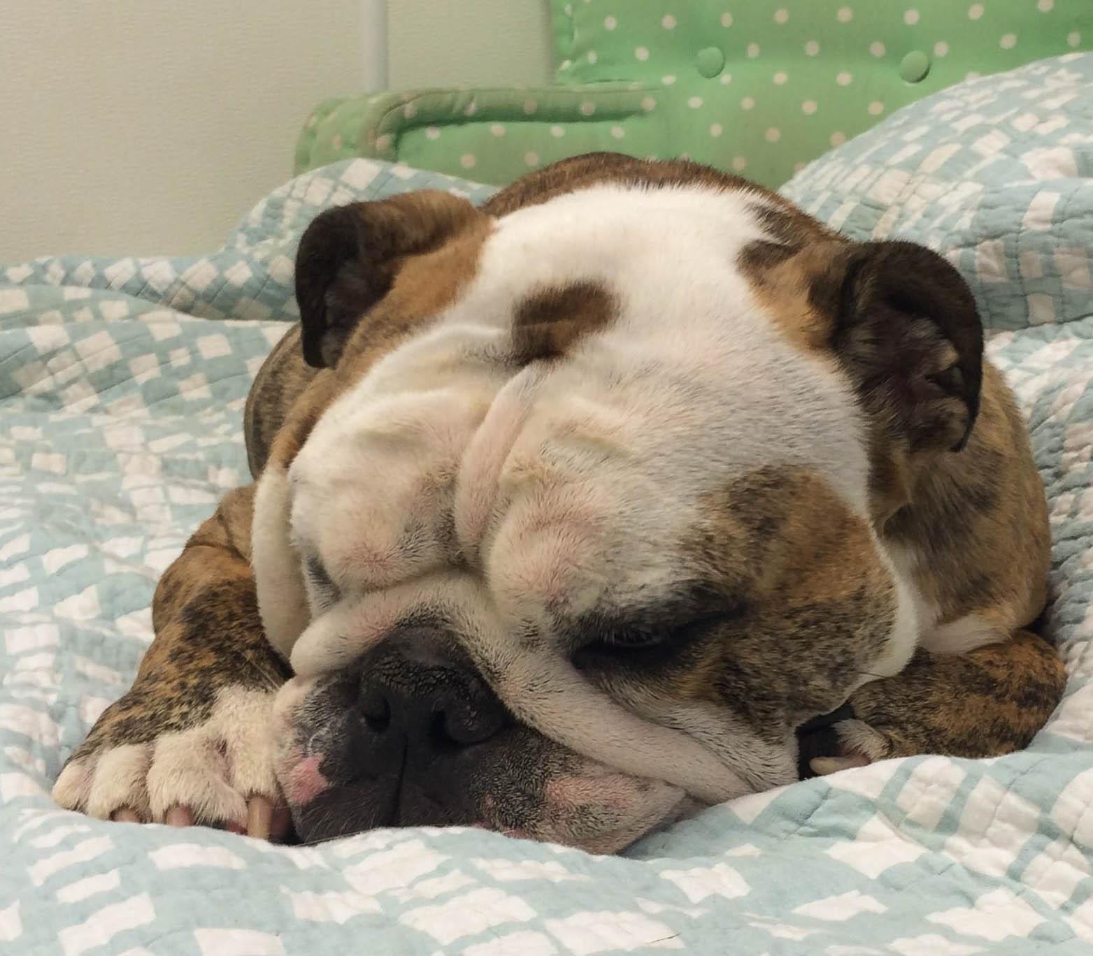 A sleeping bulldog