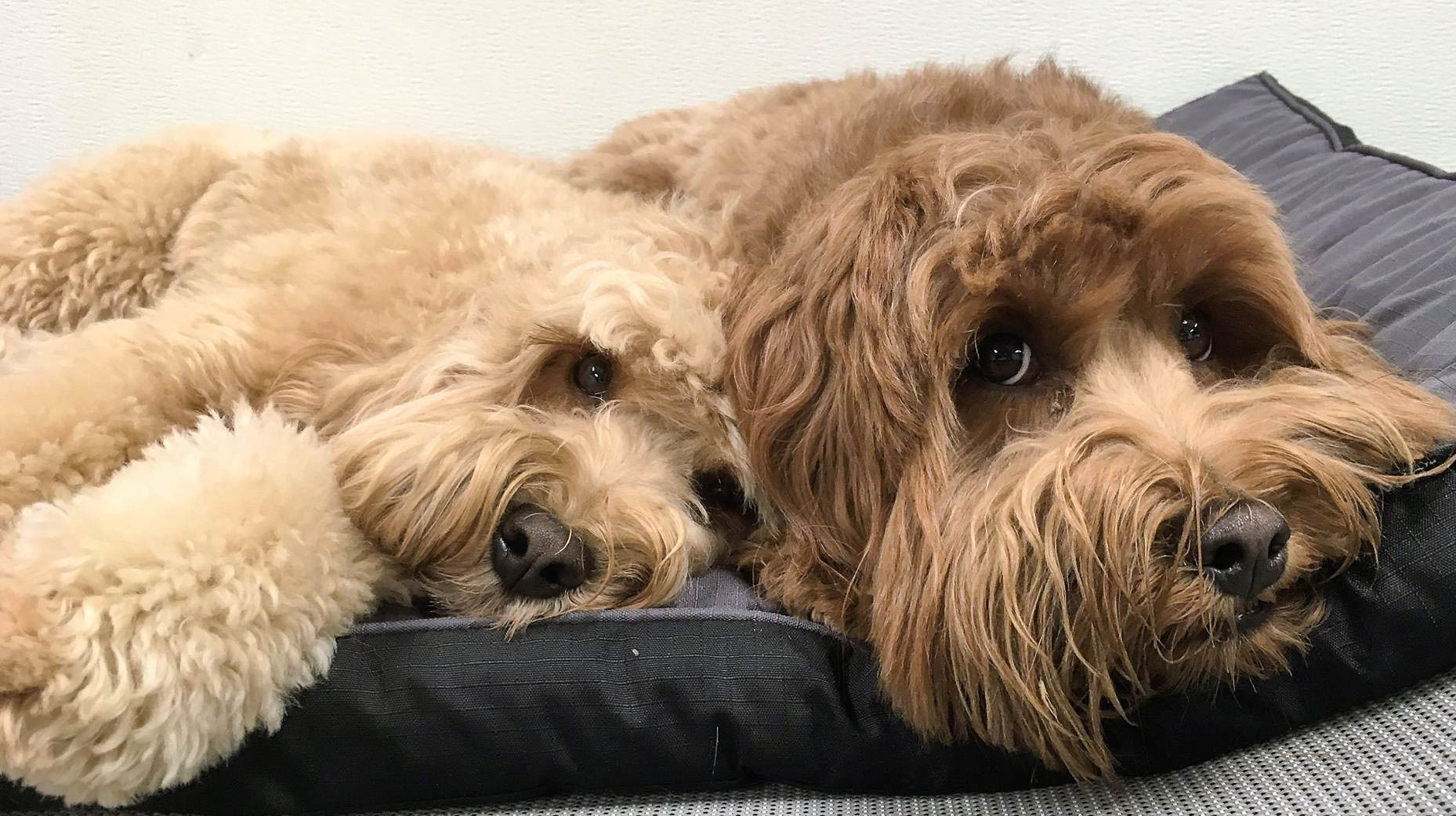 two doodles laying down at an overnight stay