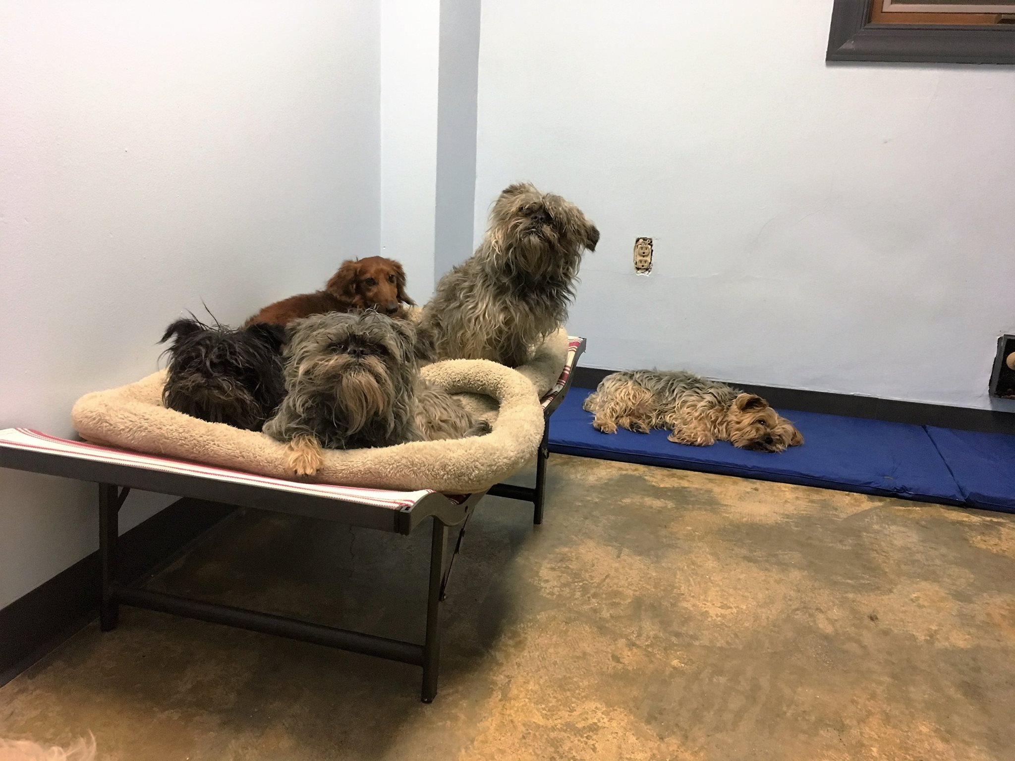 Several dogs using a small bed in our open overnight stay area