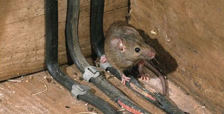 Mouse Pest control Montrose, Laurencekirk, Arbroath