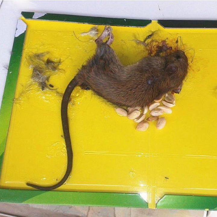 Glue trap mouse rat.jpg