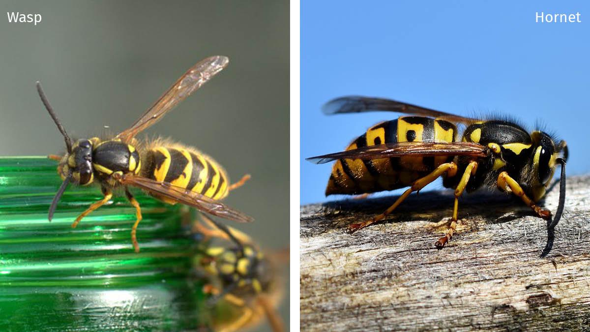 Wasps Hornets.jpg