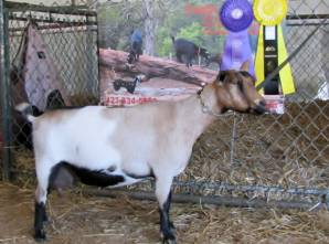 Photo made at the 2012 North Carolina State Fair where Inula was named Grand Champion Senior Doe.