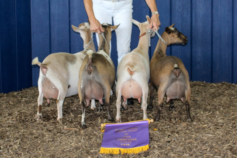 Ileana was part of the first place dairy herd at the TN State Fair 2015. (left to right:  Grevellia, Ileana, Cassimiracola, and Zabrina.