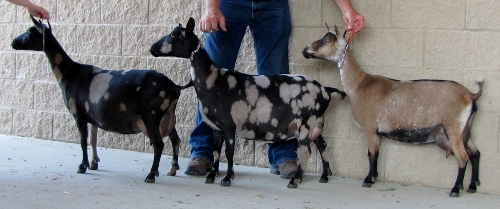 Heleena, Isabella, and Fortunata were often winners in a get of sire group class.